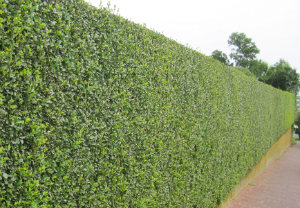 hedge-cutting-maintenance-putney